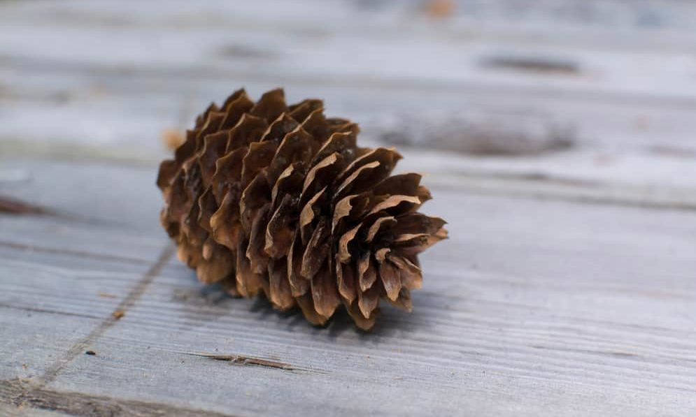 how to Clean Pine Cones