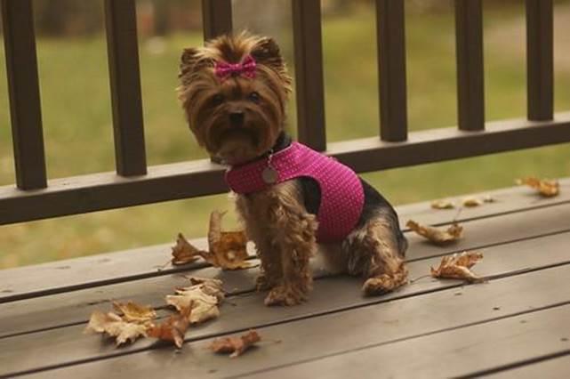 21-Little-Dog-Harness-Tutorial