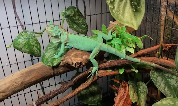 4. Iguana DIY Reptile Enclosure Plan