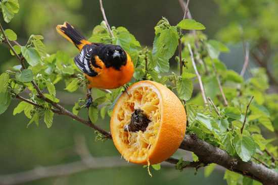 20 DIY Oriole Feeder Plans_ Do It Yourself Easily