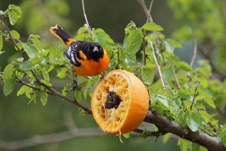 8. DIY Orange Feeder For Oriole