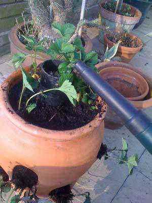 23. DIY Easy Watering Strawberry Planter