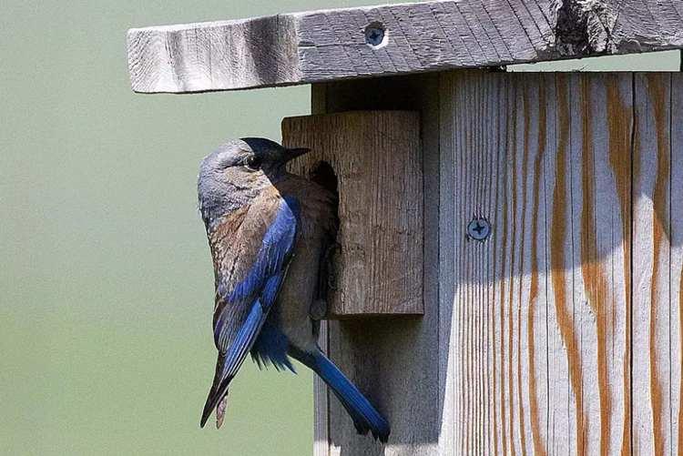 8. Free Bluebird House Plan