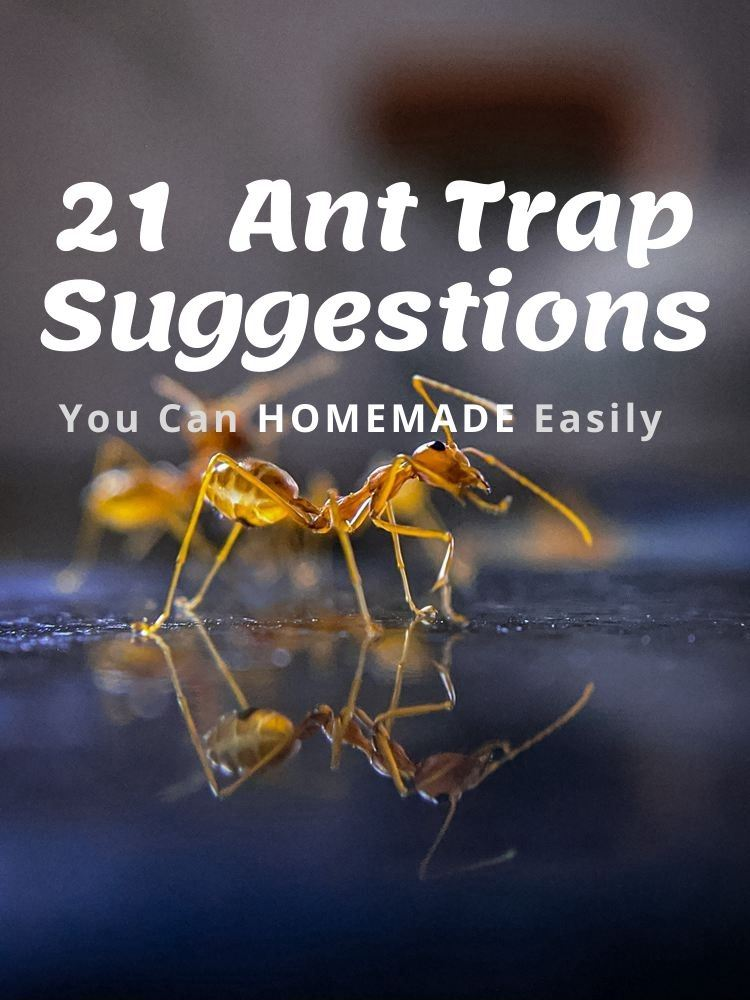 21 Natural Homemade Ant Trap Suggestions
