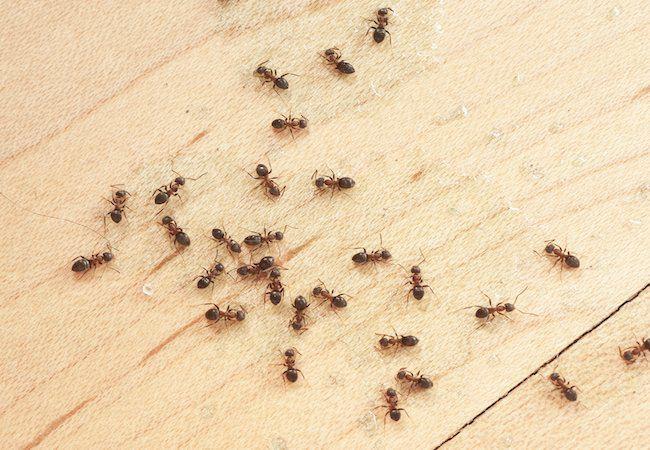 8. Simple Indoor Ant Trap