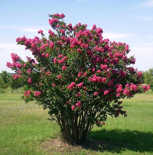 Cadaga Tree