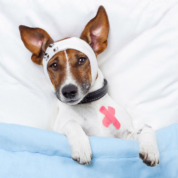 Injury dog